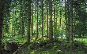 twitter pine trees