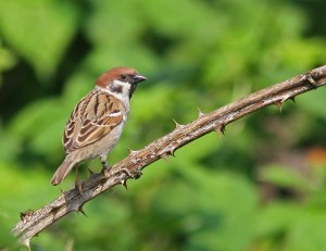 Twitter tree sparrow